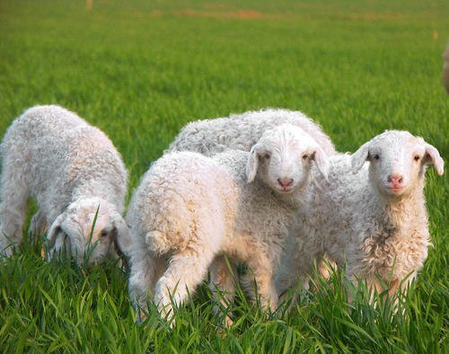 盘锦肉羊价格批发价格绵羊幼崽