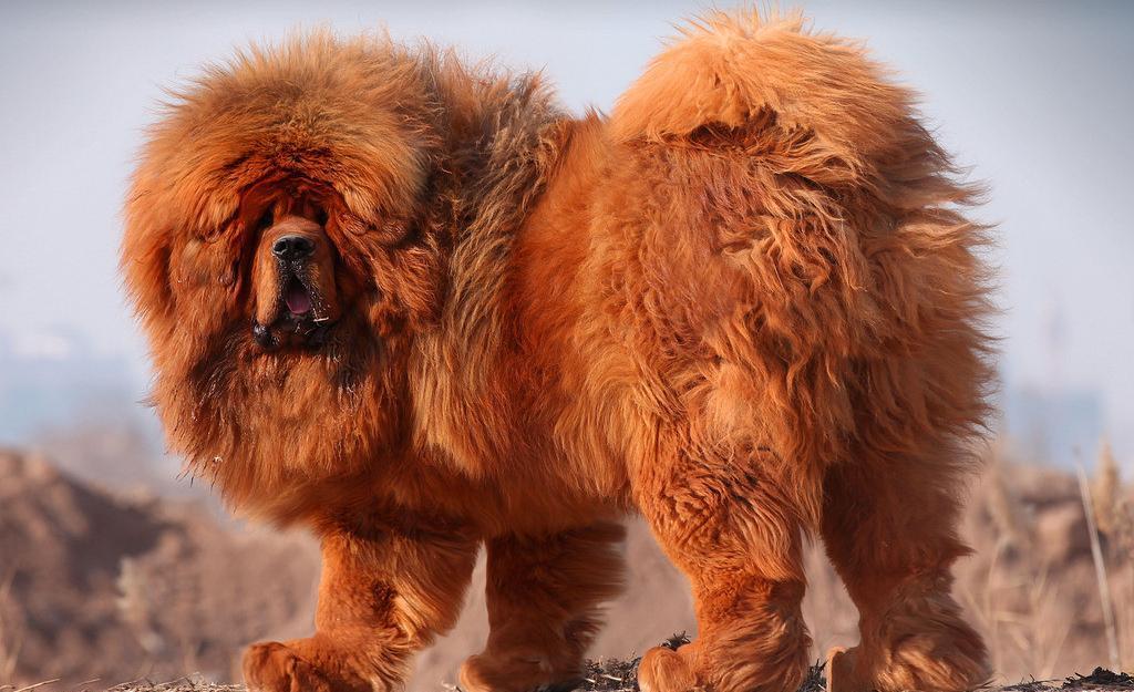 纯种藏獒价格是多少精品藏獒幼犬