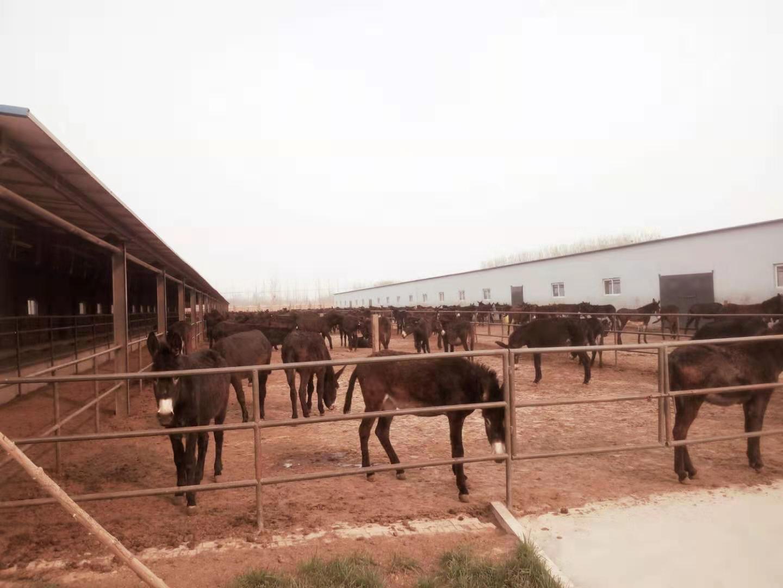山东省***大的毛驴养殖场、肉驴市场价格行情、小驴崽价格