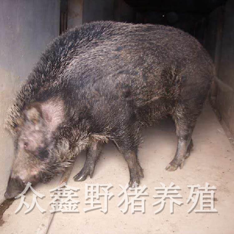 三代野猪养殖场在哪里