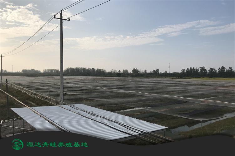济南黑斑蛙种苗养殖基地详情