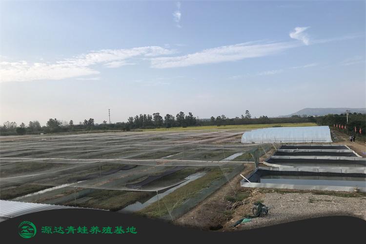 合肥青蛙种苗养殖基地培训