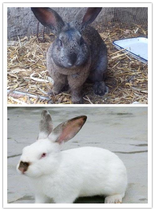 临漳养殖100只种兔一年可以挣多少钱基地直销