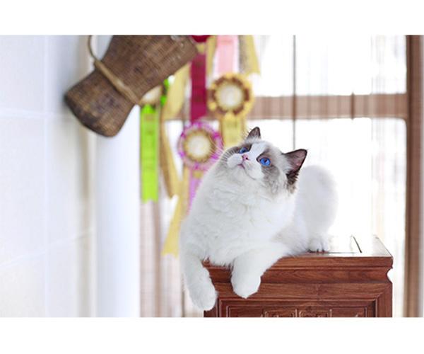 宠物布偶幼猫等级