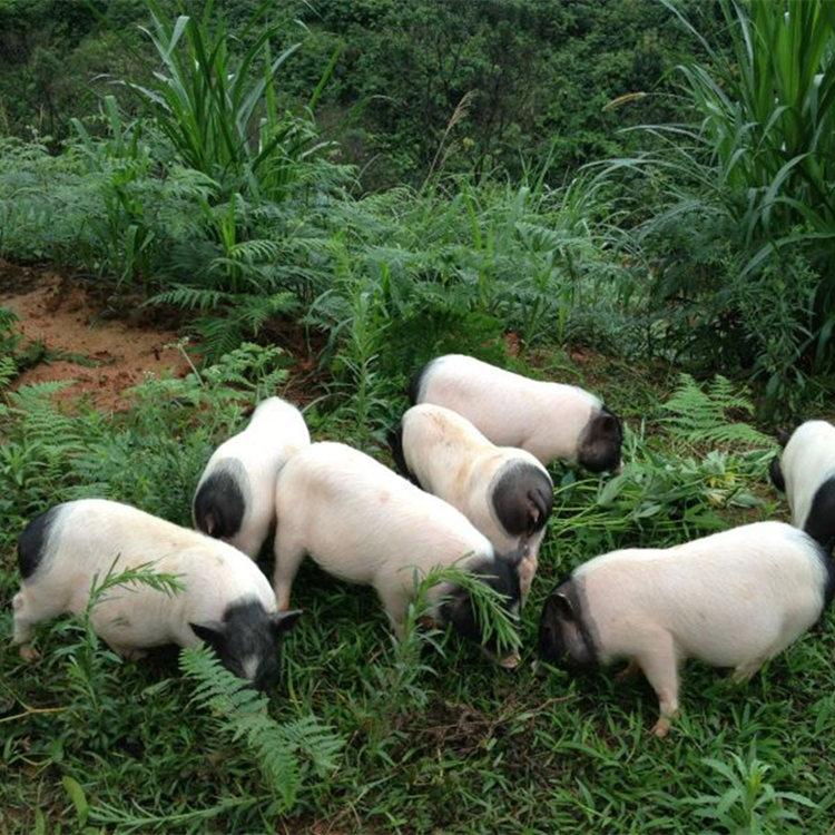 香猪可以当做宠物养吗哪里有香猪养殖场