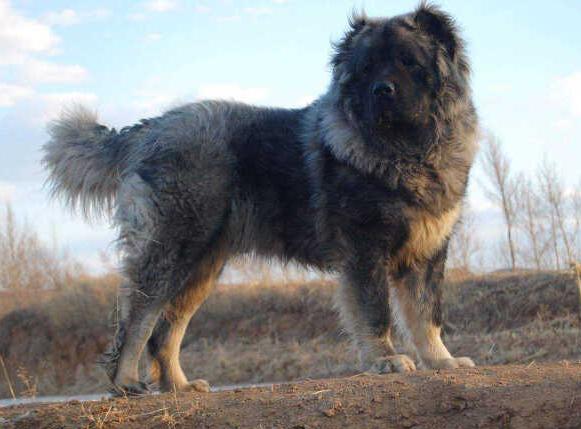 高加索犬如何喂养高加索犬养殖基地