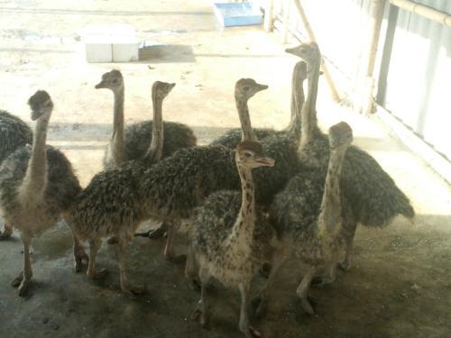 鸵鸟养殖要多大地方鸵鸟宠物养殖环境